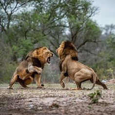Asiatic lion vs african lion here you can see them fighting. who going to win the fight- african lion vs asiatic lion. Asiatic lion fighting with African lion Nature Animals, Animals And Pets, Cute Animals, Wildlife Nature, Wild Animals, Lion Pictures, Animal Pictures, Beautiful Cats, Animals Beautiful