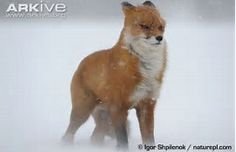 Image result for Snowy Fox