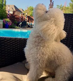 All dogs should have a home and not be treated badly Puppies And Kitties, Cute Puppies, Cute Dogs, Doggies, Animals And Pets, Baby Animals, Cute Animals, Frise Art, Bichon Dog
