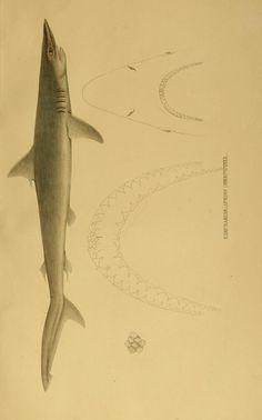 1841   Systematische Beschreibung der Plagiostomen / - Biodiversity Heritage Library   SHARKS