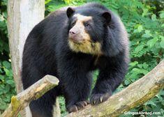 Animals in Podocarpus National Park Ecuador Spectacled bear Primates, Mammals, Spectacled Bear, South America Travel, Flora And Fauna, Black Bear, Ecuador, Bears, Places To Go
