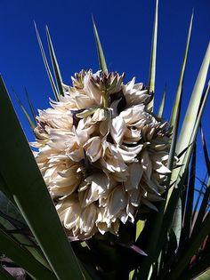 Torrey Yucca-Yucca torreyi Yucca Tree, Yucca Plant, Elegant Flowers, White Flowers, Succulents Garden, Garden Plants, Desert Botanical Garden, Growing Flowers, Creamy White