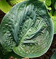 Medium Hosta CultivarSeedling from H. Attractive mound of very thick blue-green foliage that is corrugated and crinkled.