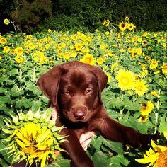 Chocolate lab puppy #luke #sunflowers