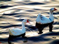 Chinese Geese at Ayr, Scotland