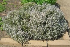 Thymus vulgaris | Common Thyme - attracts pollinators. Great article includes 2 culinary variegated recommedations that keep their variegation: Argenteus & Hi Ho Silver.