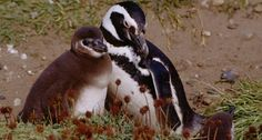 Magellanic Penguin Parent and Chick