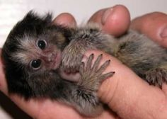 """""""Finger Monkey,"""" actually a pygmy marmoset, the smallest primate in the world. Primates, Marmoset Monkey, Pygmy Marmoset, Small Monkey, Cute Monkey, Monkey Baby, Cute Creatures, Beautiful Creatures, New World Monkey"""