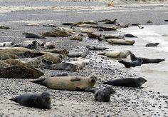 Robbenkolonie auf der Düne von Helgoland