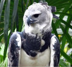I think we'll just start his post off with a video. That's what Harpy Eagles ( Harpia harpyja ) do. They soar above the treetops of t. Spirits Of The Dead, Harpy Eagle, All Things Wild, Eagle Bird, Tropical Forest, Welcome To The Jungle, Birds Of Prey, Raptors, Eagles