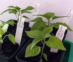 Chili-Pflanzen selbst ziehen - Tipp: Samen vor dem Einpflanzen in Schwarzem oder Kamillentee einweichen!