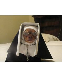 Check out Gidget the Chihuahua, dressed up in his #SisterAct inspired #costume!