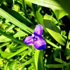 Podeňka Virginská To je krásné jméno #kvetiny #priroda #simiracz Plants, Plant, Planets