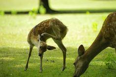 Bambi・成長中(奈良)