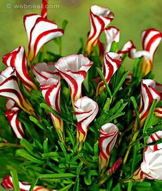 8-amazing-flowers-candy-cane-sorrel.jpg