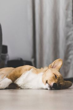 Nálatok is családtag a kutyus? 🐶Akkor neki is jár az odafigyelés, ápolás és a minőségi kozmetikumok, mint amilyen a HerbArting kutyasampon! Csak ellenőrzött, természetes összetevőket tartalmaz, hiszen a négylábú családtag is a legjobbat érdemli! 🌿✅ Itt olvashatsz róla még és meg is tudod rendelni: Welsh, Funny Dogs, Cute Dogs, Dog Ramp, Cute Animal Photos, Small Dog Breeds, Small Breed, Small Dogs, Baby Dogs