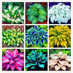 Rare Hosta Garden Perennial Plantain Lily Shade Plant (200 Pcs) – Self Sufficient Soul Ground Cover Plants, Blooming Plants, Plantain Lily, Ground Cover, Plants, Lily Flower, Lily Flower Seeds, Bonsai Flower, Flower Seeds