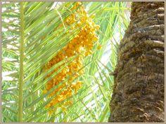 Date Palm - อินทผลัม