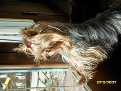 Simply beautiful!!! Yorkies Wait and watch for their mommies to come home :-)