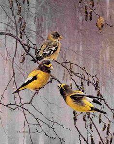 Artist/Naturalist ROBERT BATEMAN (Canadian: 1930) | Painting... Evening Grosbeaks