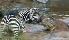 Crocodile attacks shark | large Nile croc moments before a kill on the infamous Mara River in ...