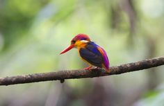 Most beautiful bird in the world? Up there. Kingfisher of Australia - Imgur