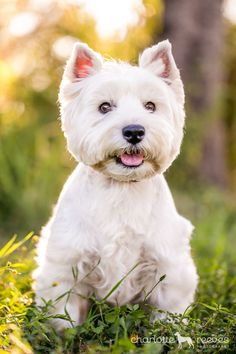 That perfect little Westie face!  NO ONE WOULD KILL HIM FOR A COAT