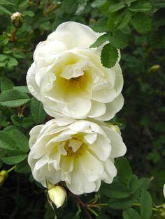 Romppala - kotoilua ja puutarhanhoitoa: Perunasta apu ruusujen lisäämiseen