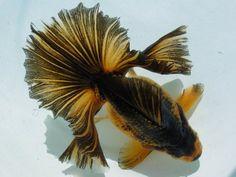 Stunning Tosakin goldfish