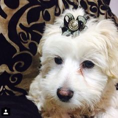 """-- We can't believe it's here already but it's time for #fashionablepupfriday ! This Jack is a 3 1/2 month old maltipoo and is sporting one of our """"Jaunty Fellow"""" bows. And he's looking devilishly handsome if we do say so ourselves! See, boys can seriously rock our bows!"""