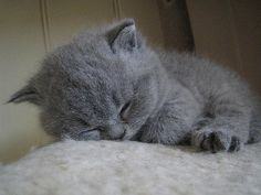 close up blue british shorthair sleepy kitten