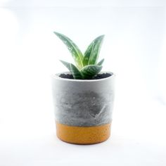 Cupper concrete pot with Aloe variegata.