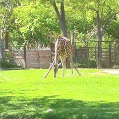 Giraffe at the Fort Worth Zoo. Fort Worth Zoo, Giraffe, Creatures, Awesome, Boys, Places, Animals, Baby Boys, Felt Giraffe