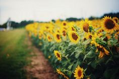 Sunflowers Yellow Field Nature HD Wallpaper