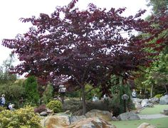 This is one my favorite small trees. This is an Eastern Redbud, a close cousin of the California native, Western Redbud. This tree . Deciduous Trees, Trees And Shrubs, Flowering Trees, Redbud Trees, Garden Trees, Garden Plants, Eastern Redbud, Baumgarten, Palmiers