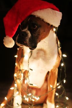 "Boxer Dogs * * "" Wut did I ever do to yoo dat yoo should've done dis to me? Boxer And Baby, Boxer Love, Merry Christmas, Christmas Dog, Christmas Lights, Christmas Boxers, Christmas Sayings, Christmas Holidays, I Love Dogs"