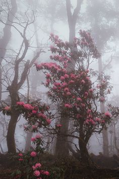 Beautiful Pink trees on a foggy morning.- Beautiful Pink trees on a foggy morning. Beautiful Pink trees on a foggy morning. Beautiful World, Beautiful Places, Beautiful Pictures, Pink Trees, Foggy Morning, Belle Photo, Enchanted, Mists, Nature Photography