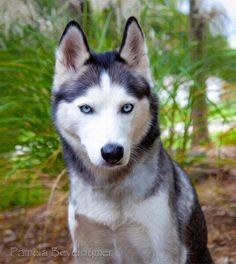 Siberian Husky Portrait, via Flickr.
