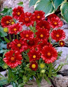 "Blanket Flower Gaillardia. Very hardy. Full sun. 12-15"". Blooms all summer. Perennial"