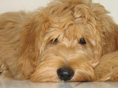 When I eventually move out of NYC I will be getting this dog! I feel bad for the dogs in the city- Australian Labradoodle