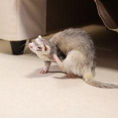 """344 Likes, 2 Comments - @lupin038 on Instagram: """"ロビン、足届いてなくない? ⁑ #エアかきかき #イタチあるある ⁑ #ferret #ferrets #ferretgram #instaferret #pets #animal #animals…"""""""