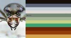 Saltmarsh tiger beetle: original image ©Colin Hutton Photography via https://www.flickr.com/photos/49687613@N06/7160512585/sizes/l/in/photostream/