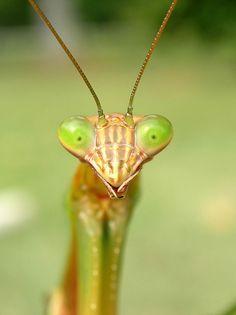 Praying mantis by stormahawk, via Flickr
