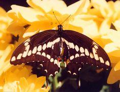 Giant Swallowtail c1987 / Tampa, Florida / April / Melanie Petridis