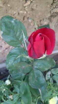 Red Rose! ورد أحمر