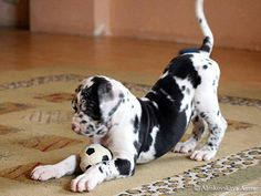Omg. I love dane puppies. Look at that curiosity!