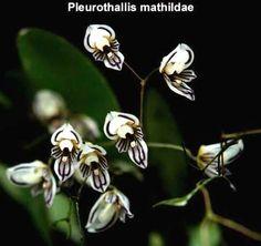 Pleurothallis mathildae