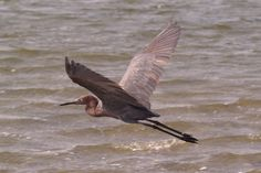 Little Blue Heron - South Padre Island, TX  11/14/11