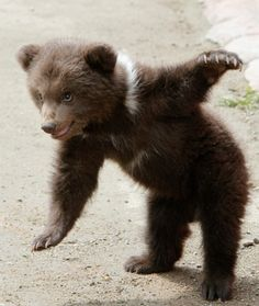A Three-month Old Bear Cub Playing