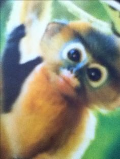 Baby dusky leaf monkey